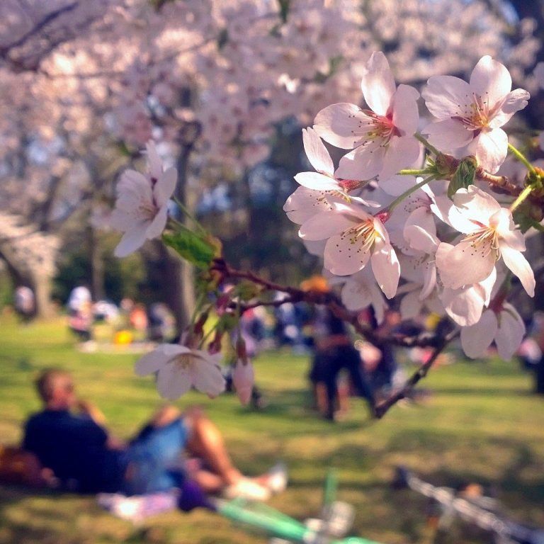 High Park Cherry Blossoms 2015